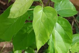 lá cây cách trị viêm phổi